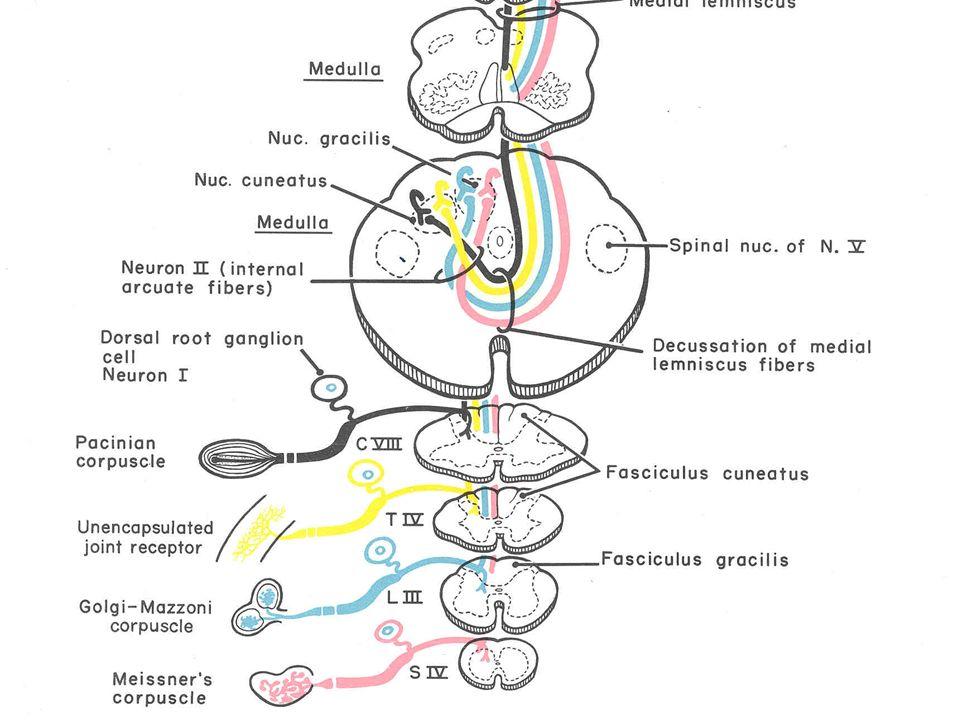 Trigonum nervi vagi (Altında Nuc.