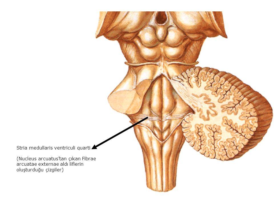 Stria medullaris ventriculi quarti (Nucleus arcuatus'tan çıkan Fibrae arcuatae externae aldı liflerin oluşturduğu çizgiler)