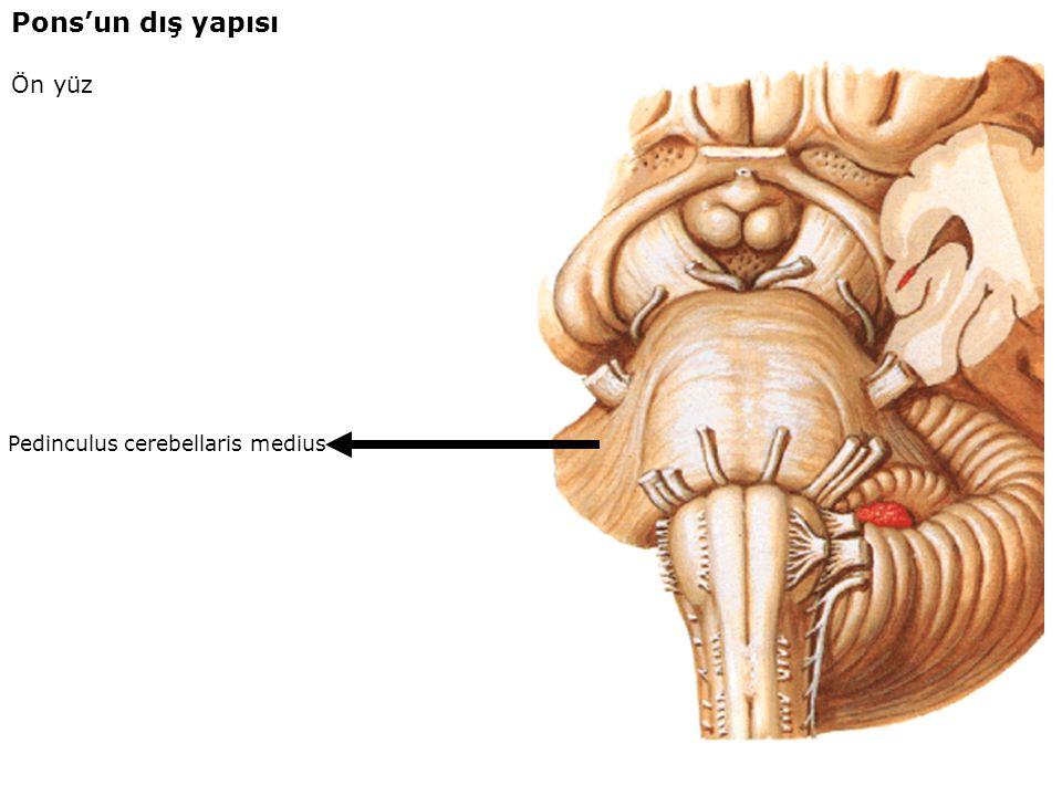 Pedinculus cerebellaris inferior Pedinculus cerebellaris medius Pedinculus cerebellaris superior Pons'un dış yapısı arka yüz