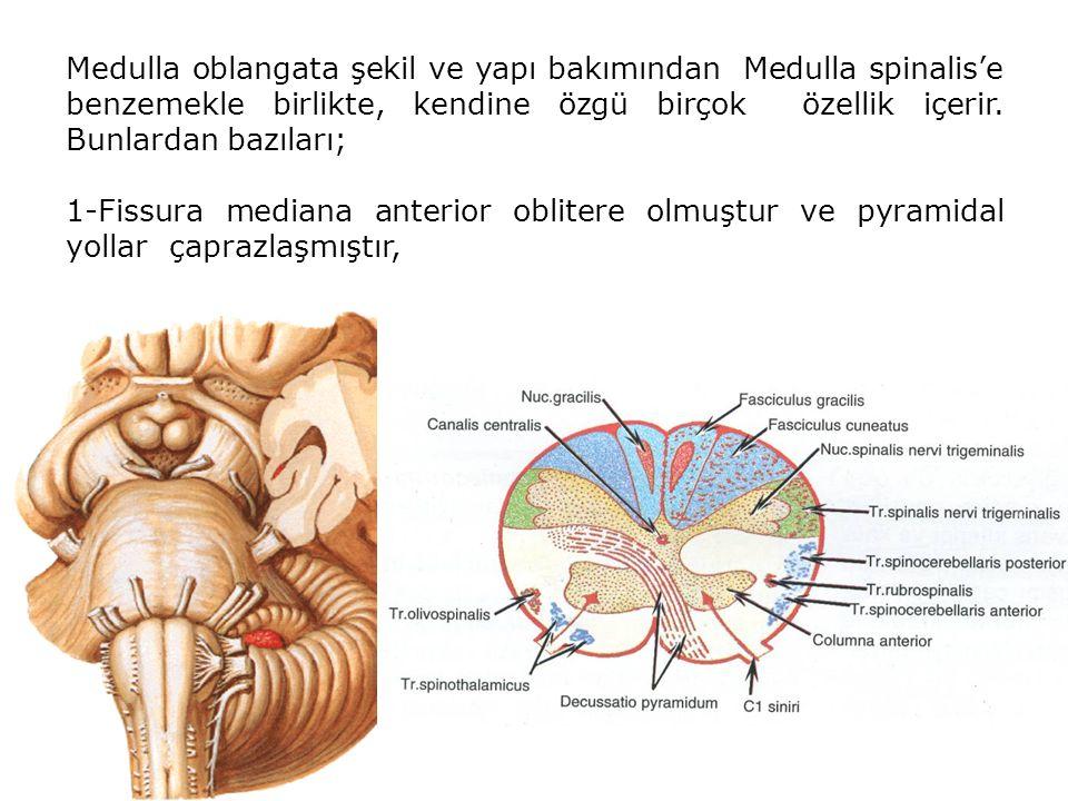 2-Dorsalde Fasciculus gracilis ve cuneatus tuberculum gracilis ve cuneatus'daki çekirdeklerde sonlanır ve bu çekirdeklerden çıkan lifler çaprazlaşarak decussatio lemniscorum medialis ve daha sonra lemniscus medialis'i oluşturur.