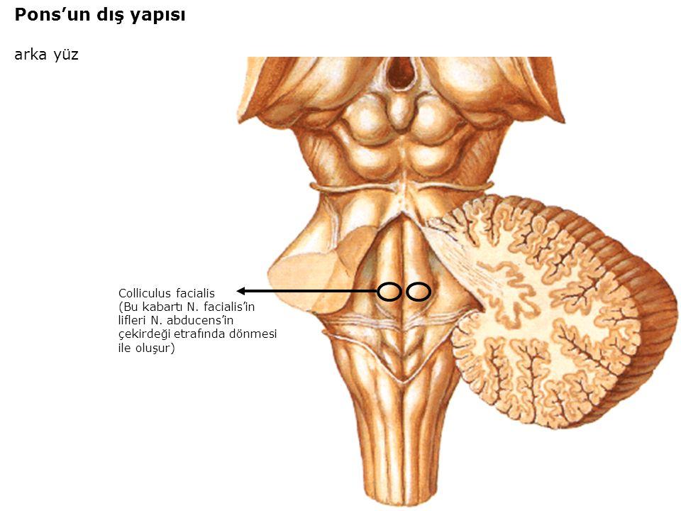 Colliculus facialis (Bu kabartı N. facialis'in lifleri N.