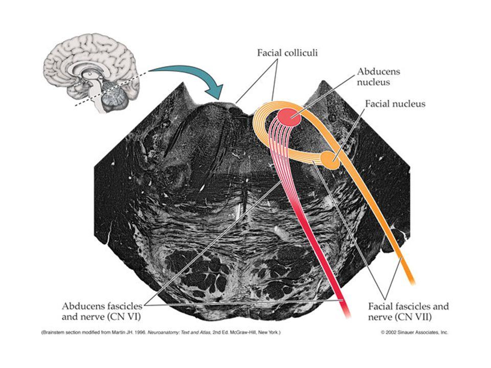 Area vestibularis (Vestibular komplex burada bulunur) Pons'un dış yapısı arka yüz -Nuc.