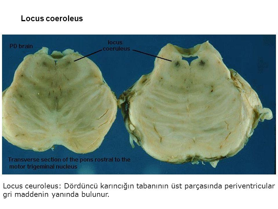 Eminentia medialis Sulcus limitans Sulcus medianus Pons'un dış yapısı arka yüz