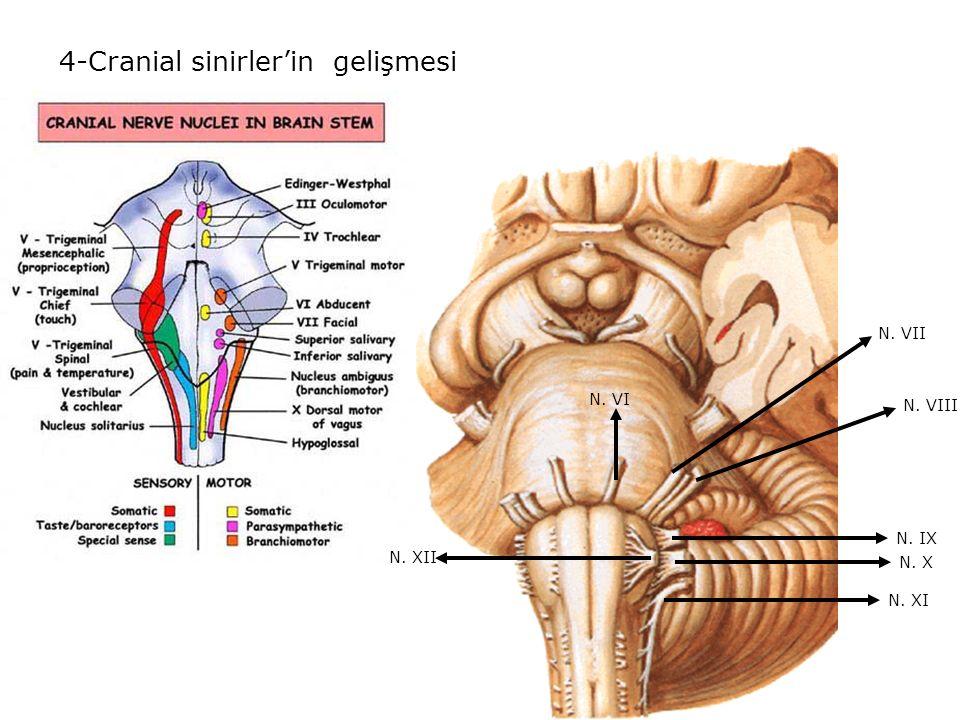5-Dördüncü ventrikül'ün gelişmesi,