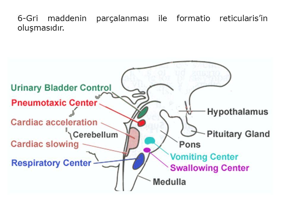 6-Gri maddenin parçalanması ile formatio reticularis'in oluşmasıdır.