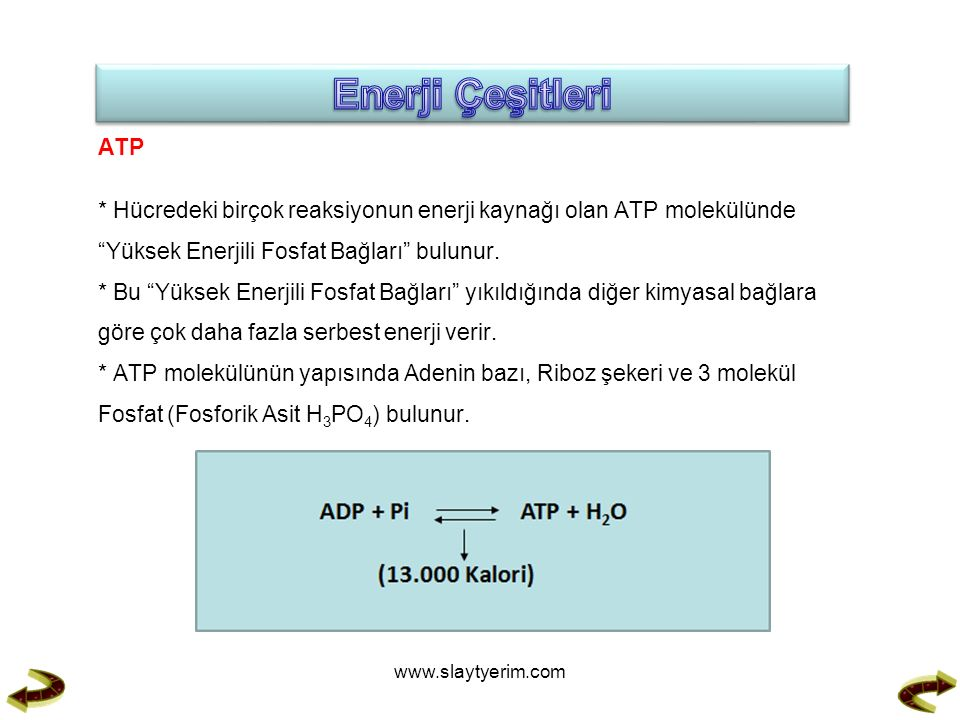 ATP * Hücredeki birçok reaksiyonun enerji kaynağı olan ATP molekülünde Yüksek Enerjili Fosfat Bağları bulunur.