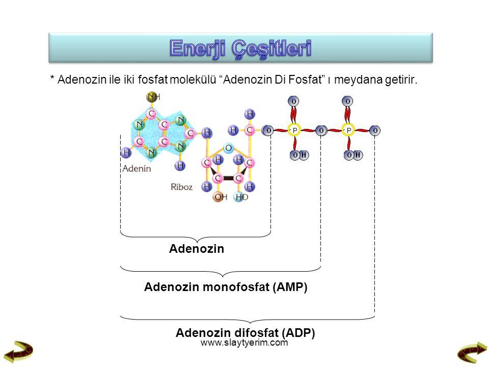 "* Adenozin ile iki fosfat molekülü ""Adenozin Di Fosfat"" ı meydana getirir. Adenozin Adenozin monofosfat (AMP) Adenozin difosfat (ADP) www.slaytyerim.c"