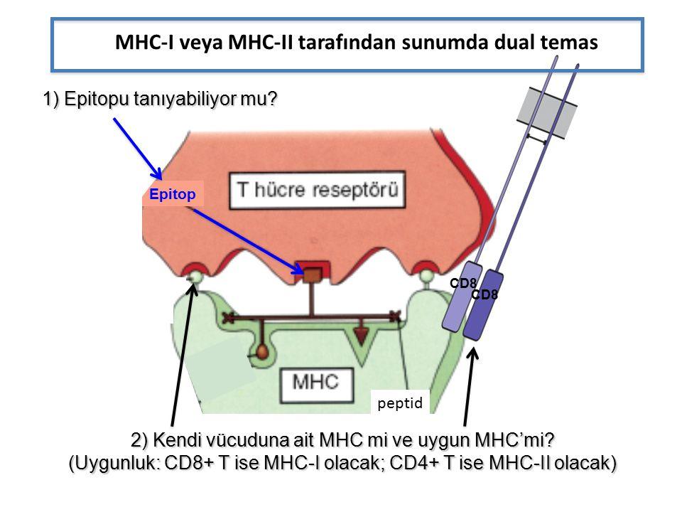 Epitop CD8 MHC-I veya MHC-II tarafından sunumda dual temas 1) Epitopu tanıyabiliyor mu.