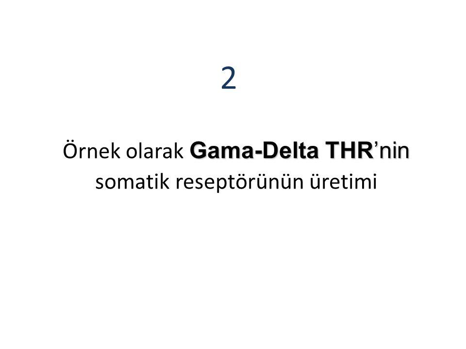 Gama-Delta THR'nin Örnek olarak Gama-Delta THR'nin somatik reseptörünün üretimi 2