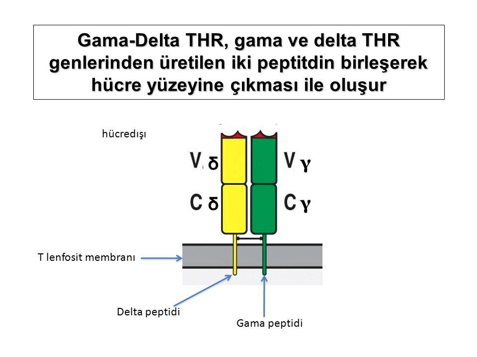 Gama-Delta THR, gama ve delta THR genlerinden üretilen iki peptitdin birleşerek hücre yüzeyine çıkması ile oluşur δ γ γ δ Delta peptidi Gama peptidi T lenfosit membranı hücredışı
