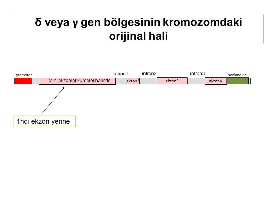 γ δ veya γ gen bölgesinin kromozomdaki orijinal hali promotor ekzon2 ekzon3 ekzon4 intron1 intron2intron3 sonlandırıcı Mini ekzonlar kümeler halinde 1nci ekzon yerine