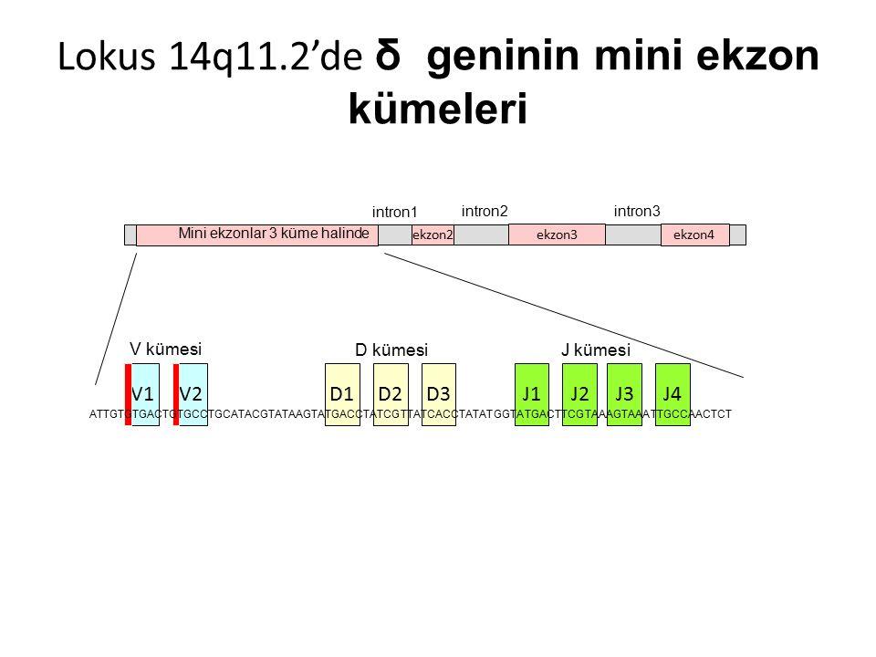 V1V2J1D1D2D3J2 V kümesi D kümesiJ kümesi ekzon2 ekzon3 ekzon4 intron1 intron2intron3 Mini ekzonlar 3 küme halinde Lokus 14q11.2'de δ geninin mini ekzon kümeleri J3J4 ATTGTGTGACTGTGCCTGCATACGTATAAGTATGACCTATCGTTATCACCTATATGGTATGACTTCGTAAAGTAAATTGCCAACTCT