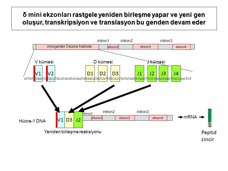 rastgele yeniden birleşme yapar ve yeni gen oluşur, transkripsiyon ve translasyon bu genden devam eder δ mini ekzonları rastgele yeniden birleşme yapar ve yeni gen oluşur, transkripsiyon ve translasyon bu genden devam eder ekzon2ekzon3 ekzon4 intron1 intron2intron3 V1D3J2 Hücre-1 DNA ekzon2 ekzon3 ekzon4 intron1 intron2intron3 Yeniden birleşme reaksiyonu mRNA minigenler 3 küme halinde Peptid zincir V1V2J1D1D2D3J2 V kümesi D kümesiJ kümesi J3J4 ATTGTGTGACTGTGCCTGCATACGTATAAGTATGACCTATCGTTATCACCTATATGGTATGACTTCGTAAAGTAAATTGCCAACTCT
