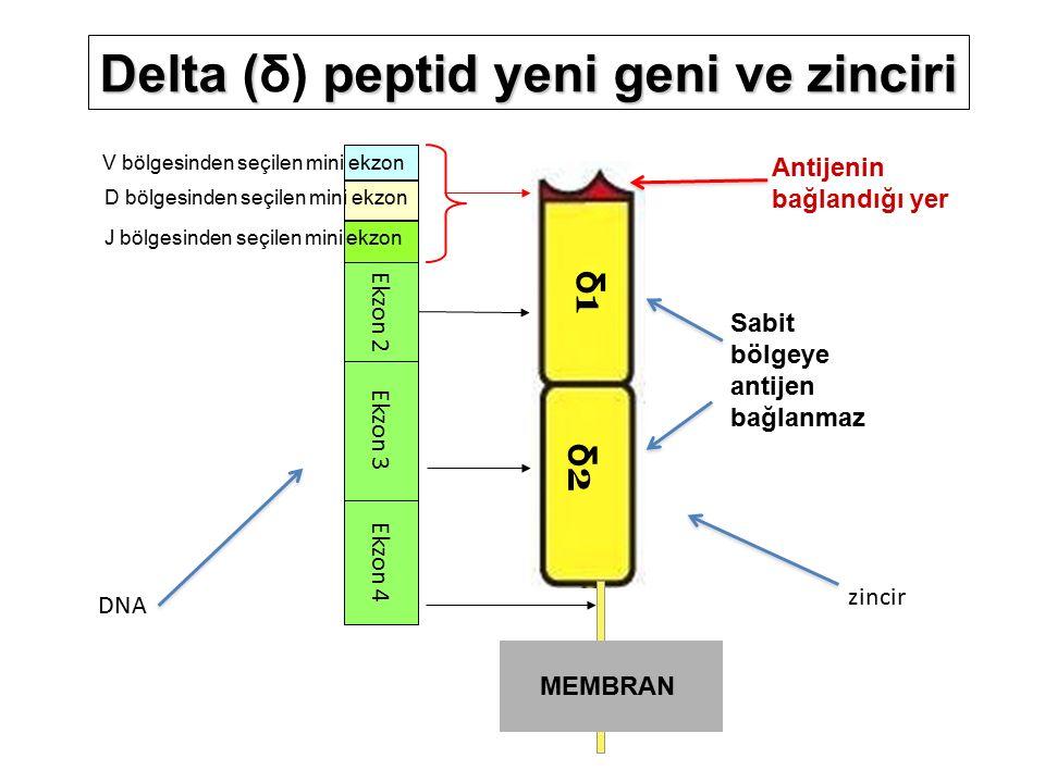 δ1δ1 δ2δ2 Ekzon 2 Ekzon 4 Ekzon 3 V bölgesinden seçilen mini ekzon Antijenin bağlandığı yer MEMBRAN Sabit bölgeye antijen bağlanmaz Delta (peptid yeni geni ve zinciri Delta (δ) peptid yeni geni ve zinciri D bölgesinden seçilen mini ekzon J bölgesinden seçilen mini ekzon DNA zincir