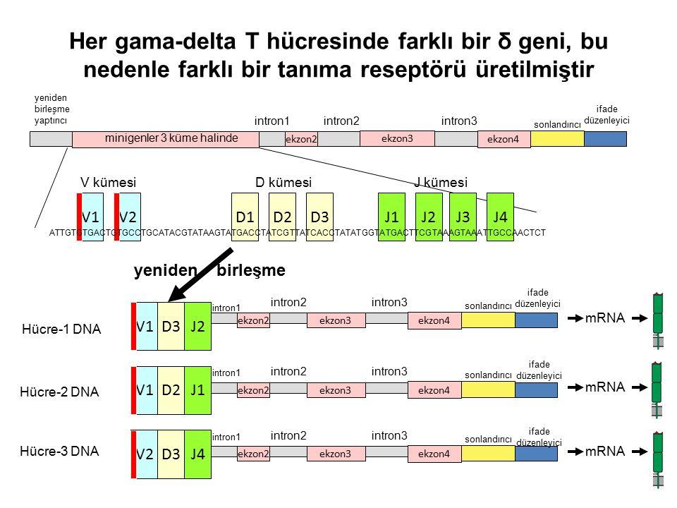 Her gama-delta T hücresinde farklı bir δ geni, bu nedenle farklı bir tanıma reseptörü üretilmiştir ekzon2ekzon3 ekzon4 intron1 intron2intron3 ifade düzenleyici sonlandırıcı yeniden birleşme yaptırıcı V1D3J2 Hücre-1 DNA Hücre-2 DNA Hücre-3 DNA V1 V2 D2 D3 J1 J4 ekzon2ekzon3 ekzon4 intron1 intron2intron3 sonlandırıcı ekzon2 ekzon3 ekzon4 intron1 intron2intron3 sonlandırıcı ekzon2ekzon3 ekzon4 intron1 intron2intron3 sonlandırıcı ifade düzenleyici ifade düzenleyici ifade düzenleyici yeniden birleşme mRNA minigenler 3 küme halinde V1V2J1D1D2D3J2 V kümesi D kümesiJ kümesi J3J4 ATTGTGTGACTGTGCCTGCATACGTATAAGTATGACCTATCGTTATCACCTATATGGTATGACTTCGTAAAGTAAATTGCCAACTCT