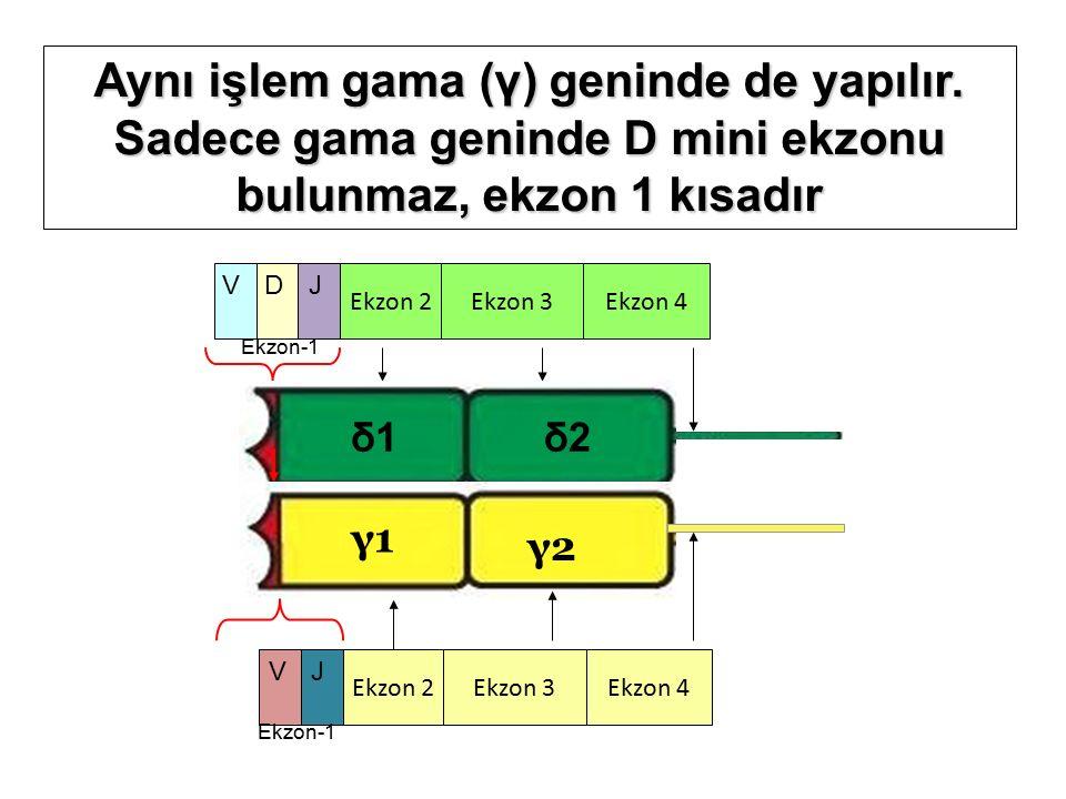 Ekzon 2 Ekzon 4Ekzon 3 VDJ Ekzon-1 δ1δ1δ2δ2 γ1γ1 γ2γ2 Ekzon 2 Ekzon 4Ekzon 3 V Ekzon-1 J Aynı işlem gama (γ) geninde de yapılır.
