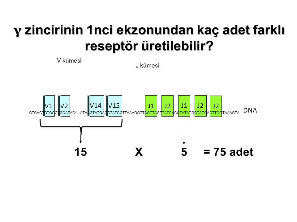 γ zincirinin 1nci ekzonundan kaç adet farklı reseptör üretilebilir.