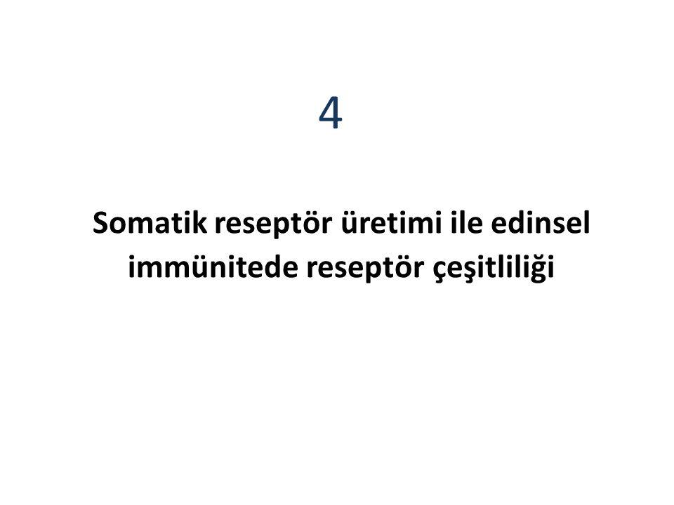 Somatik reseptör üretimi ile edinsel immünitede reseptör çeşitliliği 4