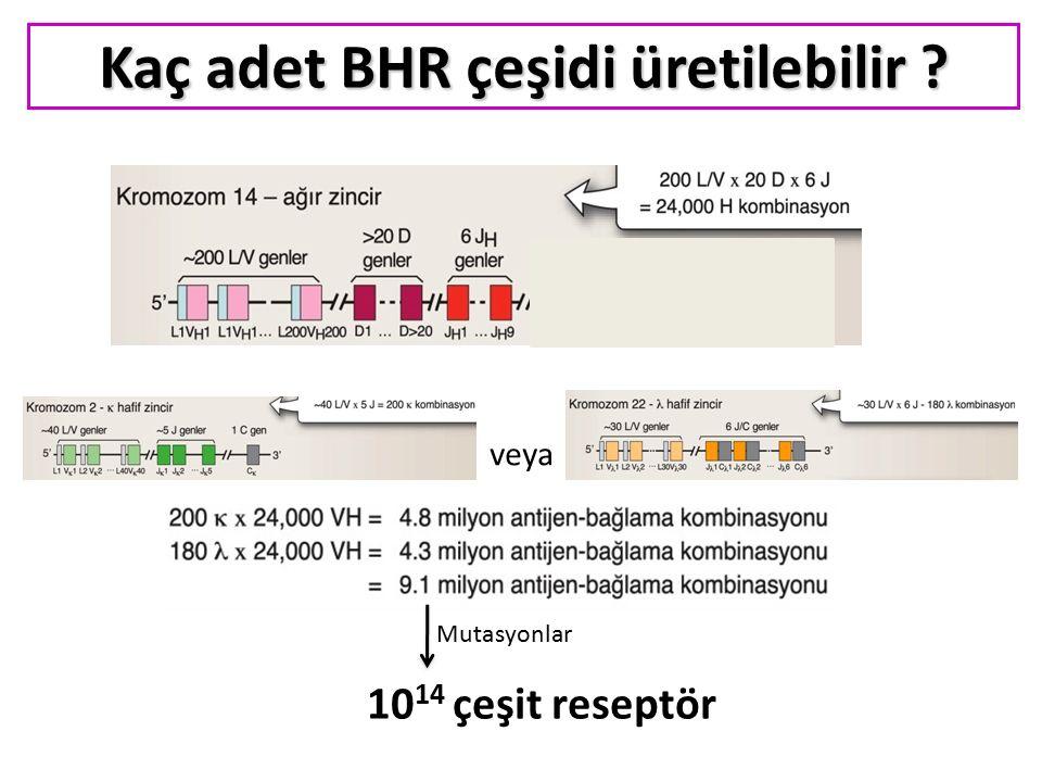 veya Kaç adet BHR çeşidi üretilebilir ? Mutasyonlar 10 14 çeşit reseptör