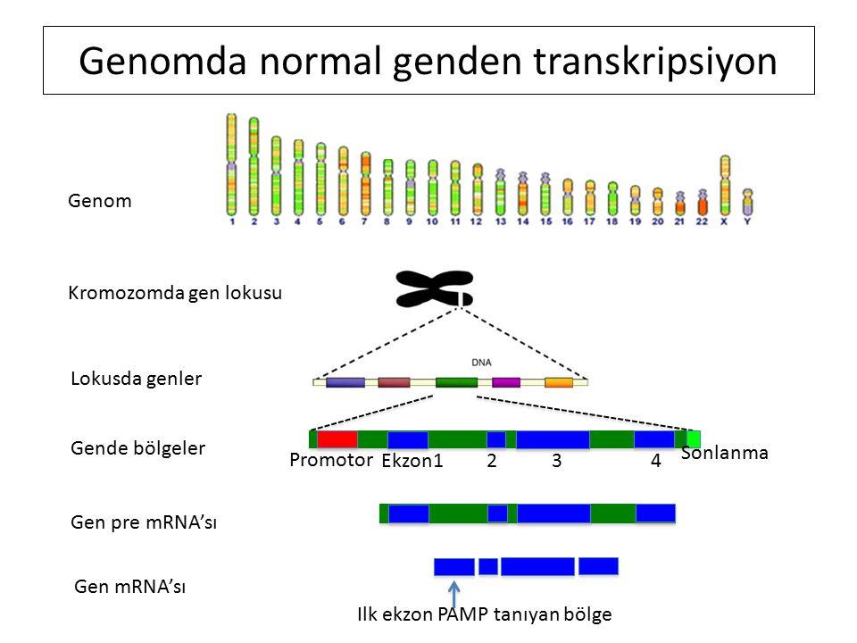 Genomda normal genden transkripsiyon Genom Kromozomda gen lokusu Lokusda genler Gende bölgeler Promotor Ekzon1 2 3 4 Sonlanma Gen pre mRNA'sı Gen mRNA'sı Ilk ekzon PAMP tanıyan bölge