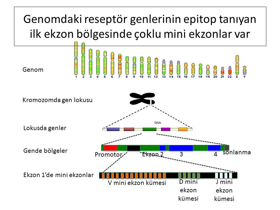 Genom Kromozomda gen lokusu Lokusda genler Gende bölgeler Promotor Ekzon 2 3 4 sonlanma Ekzon 1'de mini ekzonlar V mini ekzon kümesi D mini ekzon kümesi J mini ekzon kümesi Genomdaki reseptör genlerinin epitop tanıyan ilk ekzon bölgesinde çoklu mini ekzonlar var