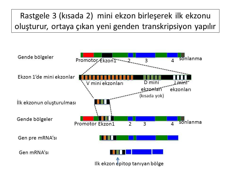 Gende bölgeler Promotor Ekzon1 2 3 4 sonlanma Ekzon 1'de mini ekzonlar V mini ekzonları D mini ekzonları (kısada yok) J mini ekzonları Rastgele 3 (kısada 2) mini ekzon birleşerek ilk ekzonu oluşturur, ortaya çıkan yeni genden transkripsiyon yapılır İlk ekzonun oluşturulması Promotor Ekzon1 2 3 4 sonlanma Gende bölgeler Gen pre mRNA'sı Gen mRNA'sı Ilk ekzon epitop tanıyan bölge