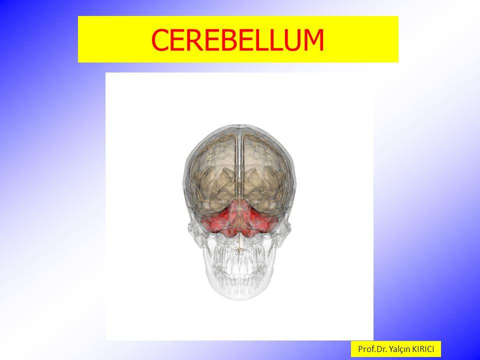 CEREBELLUM Vermis cerebelli, hemispherium cerebelli'leri birleştirir.