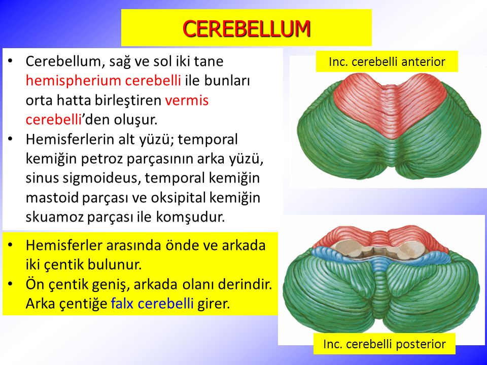 CEREBELLUM Cerebellum, sağ ve sol iki tane hemispherium cerebelli ile bunları orta hatta birleştiren vermis cerebelli'den oluşur. Hemisferlerin alt yü