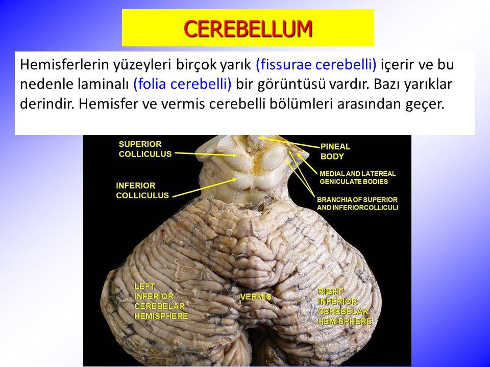 CEREBELLUM Hemisferlerin yüzeyleri birçok yarık (fissurae cerebelli) içerir ve bu nedenle laminalı (folia cerebelli) bir görüntüsü vardır. Bazı yarıkl