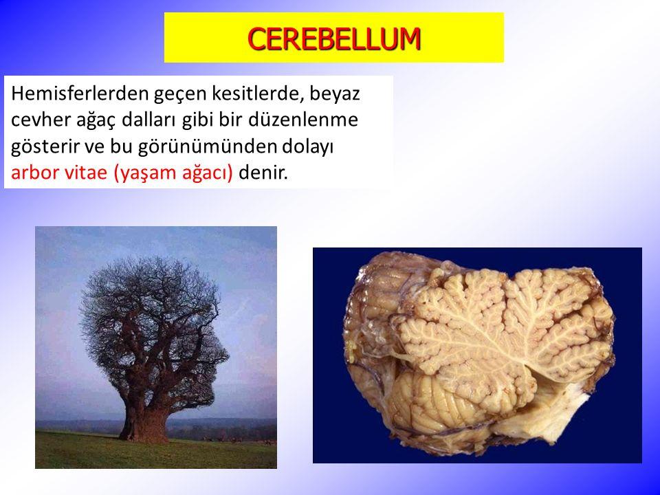 CEREBELLUM Hemisferlerden geçen kesitlerde, beyaz cevher ağaç dalları gibi bir düzenlenme gösterir ve bu görünümünden dolayı arbor vitae (yaşam ağacı) denir.