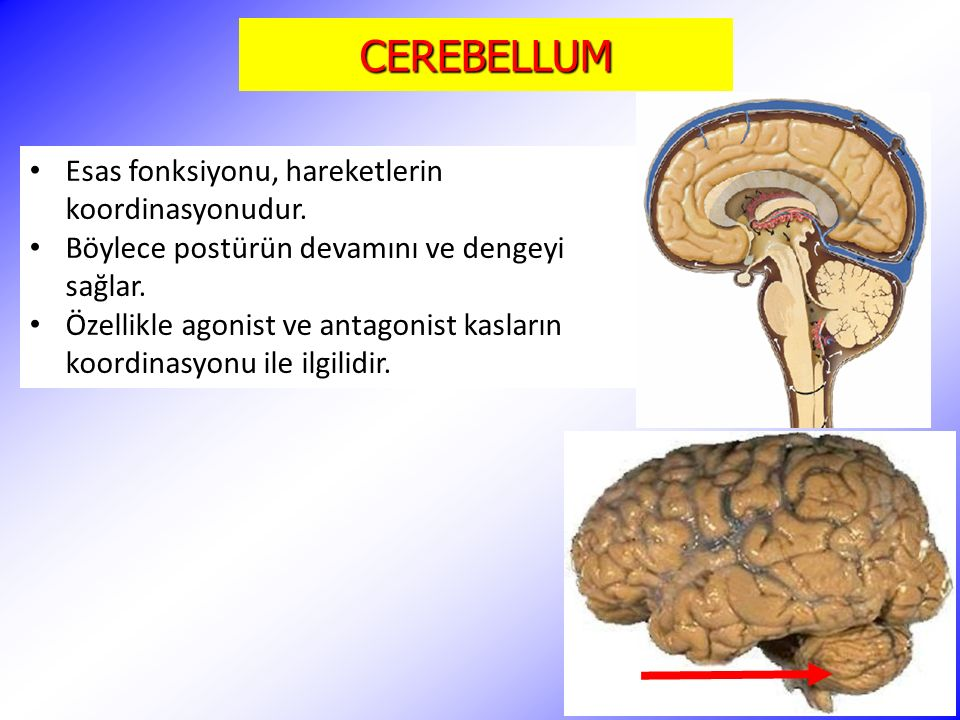 CEREBELLUM Esas fonksiyonu, hareketlerin koordinasyonudur. Böylece postürün devamını ve dengeyi sağlar. Özellikle agonist ve antagonist kasların koord