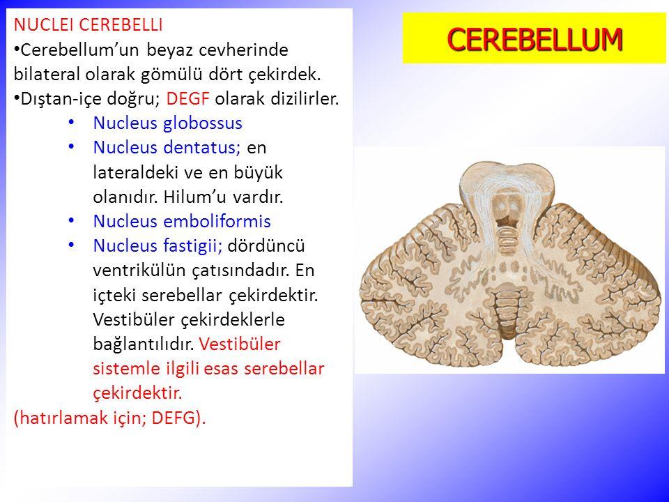 CEREBELLUM NUCLEI CEREBELLI Cerebellum'un beyaz cevherinde bilateral olarak gömülü dört çekirdek. Dıştan-içe doğru; DEGF olarak dizilirler. Nucleus gl