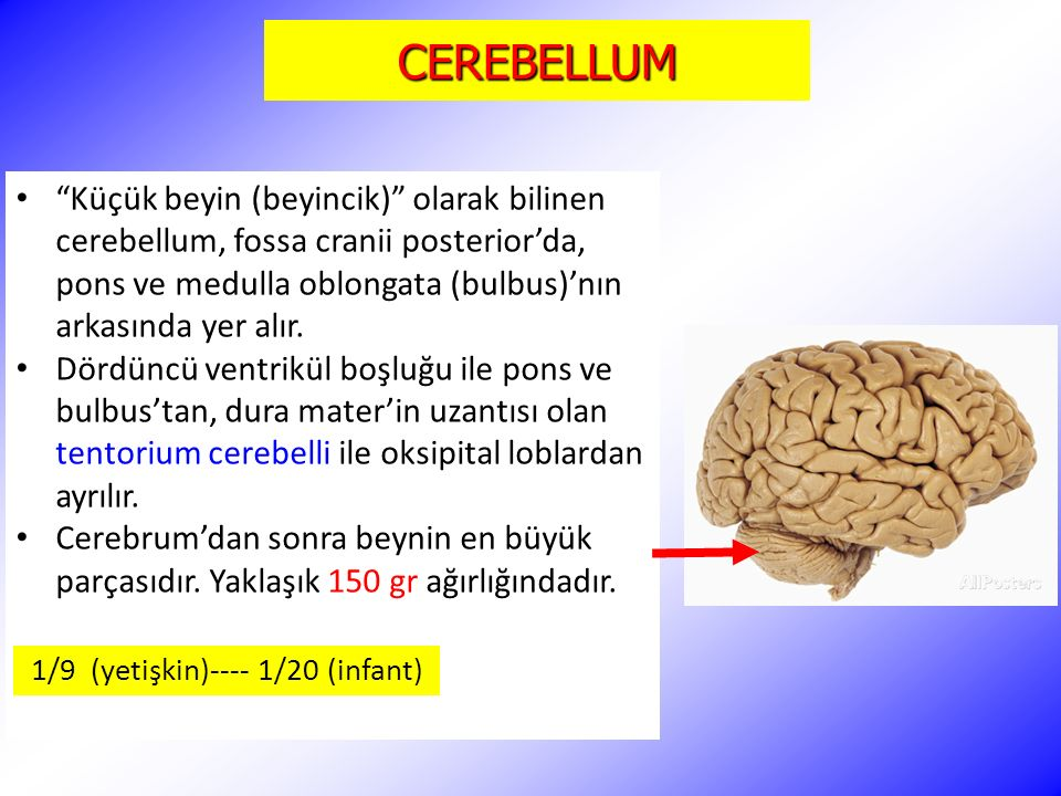 CEREBELLUM Küçük beyin (beyincik) olarak bilinen cerebellum, fossa cranii posterior'da, pons ve medulla oblongata (bulbus)'nın arkasında yer alır.
