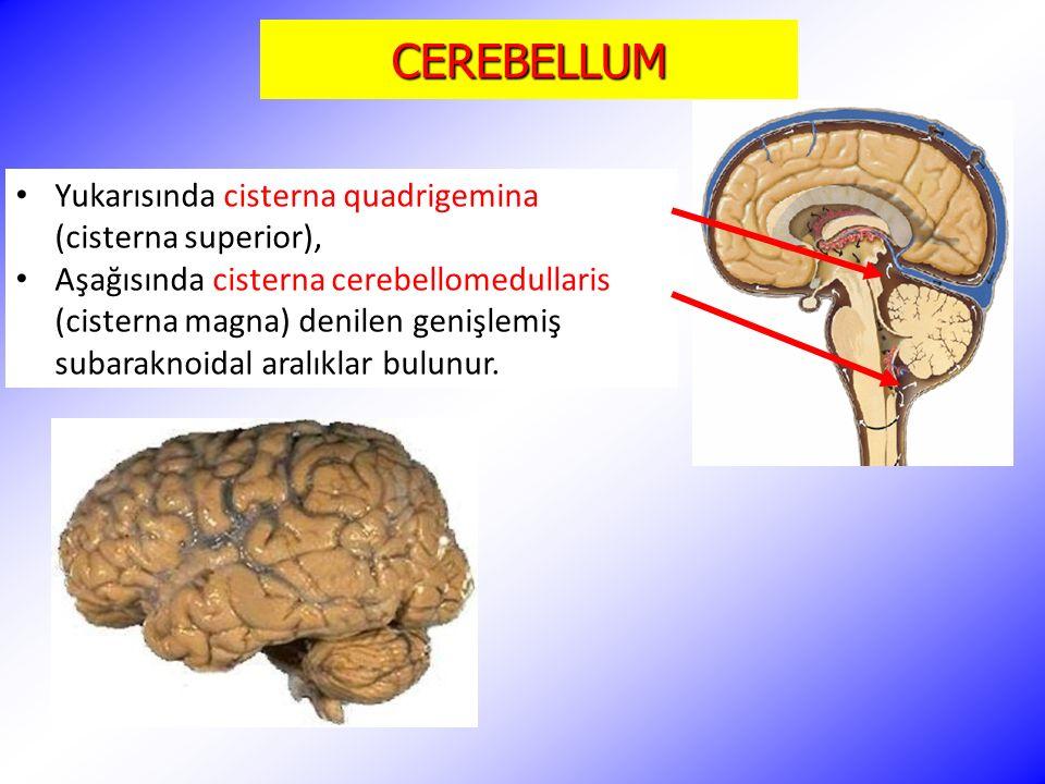 CEREBELLUM Yukarısında cisterna quadrigemina (cisterna superior), Aşağısında cisterna cerebellomedullaris (cisterna magna) denilen genişlemiş subarakn