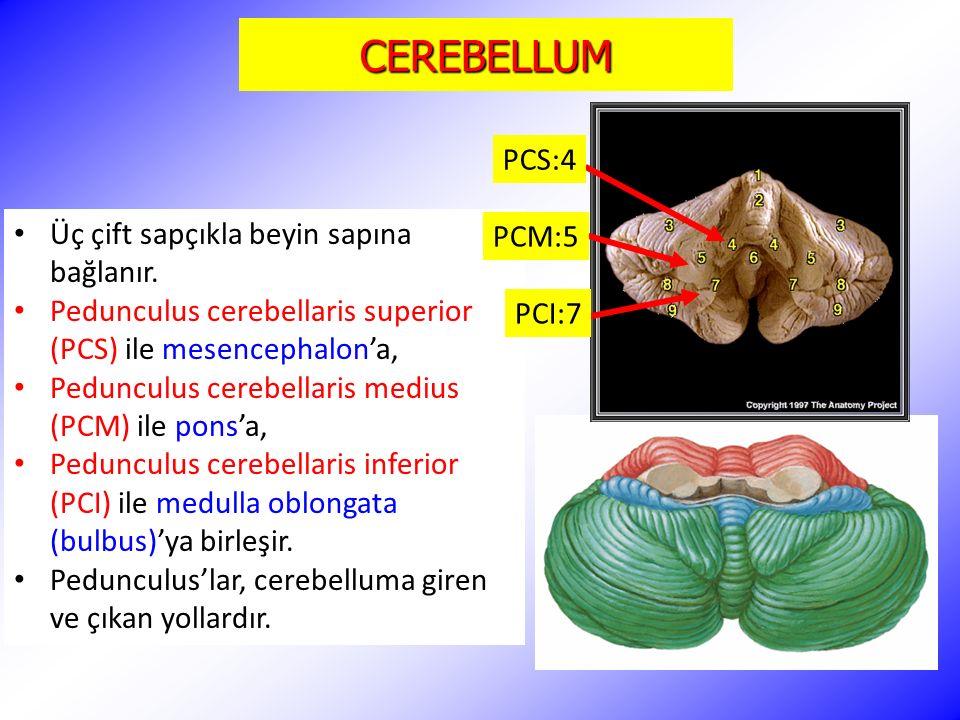 CEREBELLUM Üç çift sapçıkla beyin sapına bağlanır. Pedunculus cerebellaris superior (PCS) ile mesencephalon'a, Pedunculus cerebellaris medius (PCM) il