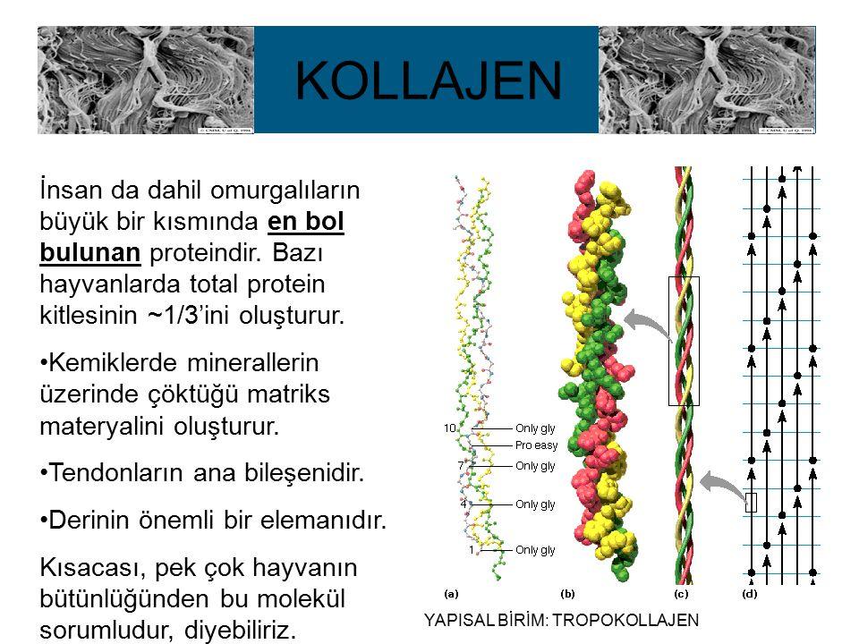 KOLLAJEN İnsan da dahil omurgalıların büyük bir kısmında en bol bulunan proteindir. Bazı hayvanlarda total protein kitlesinin ~1/3'ini oluşturur. Kemi