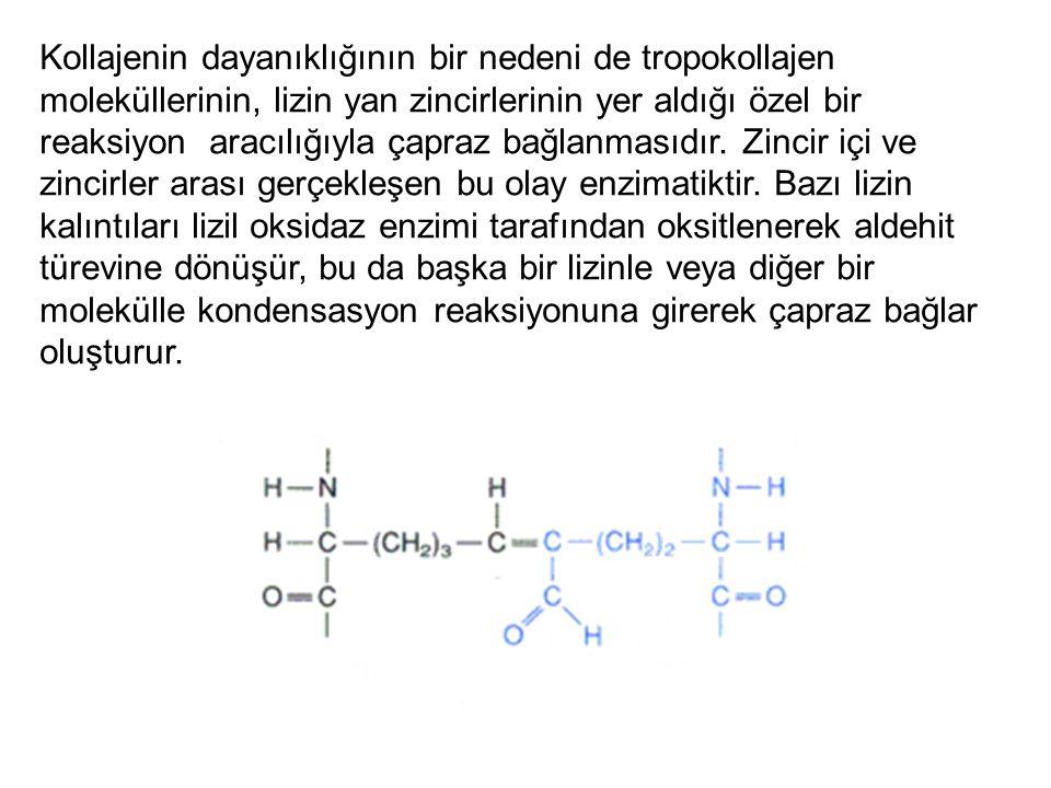 Kollajenin dayanıklığının bir nedeni de tropokollajen moleküllerinin, lizin yan zincirlerinin yer aldığı özel bir reaksiyon aracılığıyla çapraz bağlan