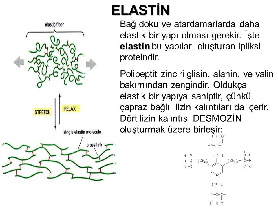 ELASTİN elastin Bağ doku ve atardamarlarda daha elastik bir yapı olması gerekir. İşte elastin bu yapıları oluşturan ipliksi proteindir. Polipeptit zin