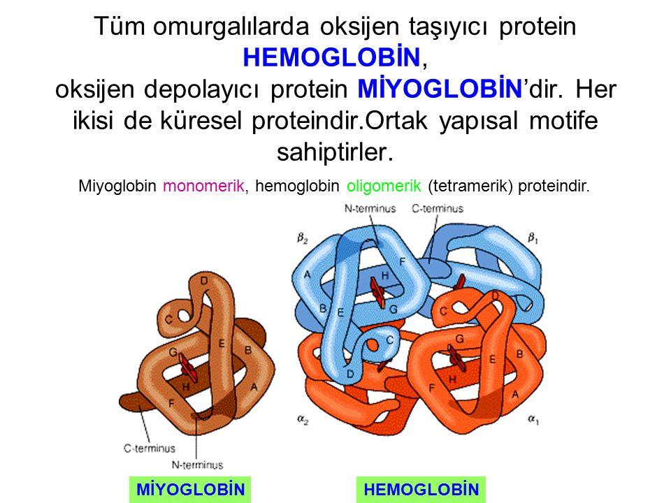 Tüm omurgalılarda oksijen taşıyıcı protein HEMOGLOBİN, oksijen depolayıcı protein MİYOGLOBİN'dir. Her ikisi de küresel proteindir.Ortak yapısal motife
