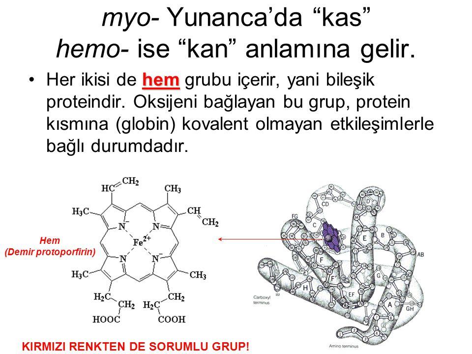"""myo- Yunanca'da """"kas"""" hemo- ise """"kan"""" anlamına gelir. hemHer ikisi de hem grubu içerir, yani bileşik proteindir. Oksijeni bağlayan bu grup, protein kı"""