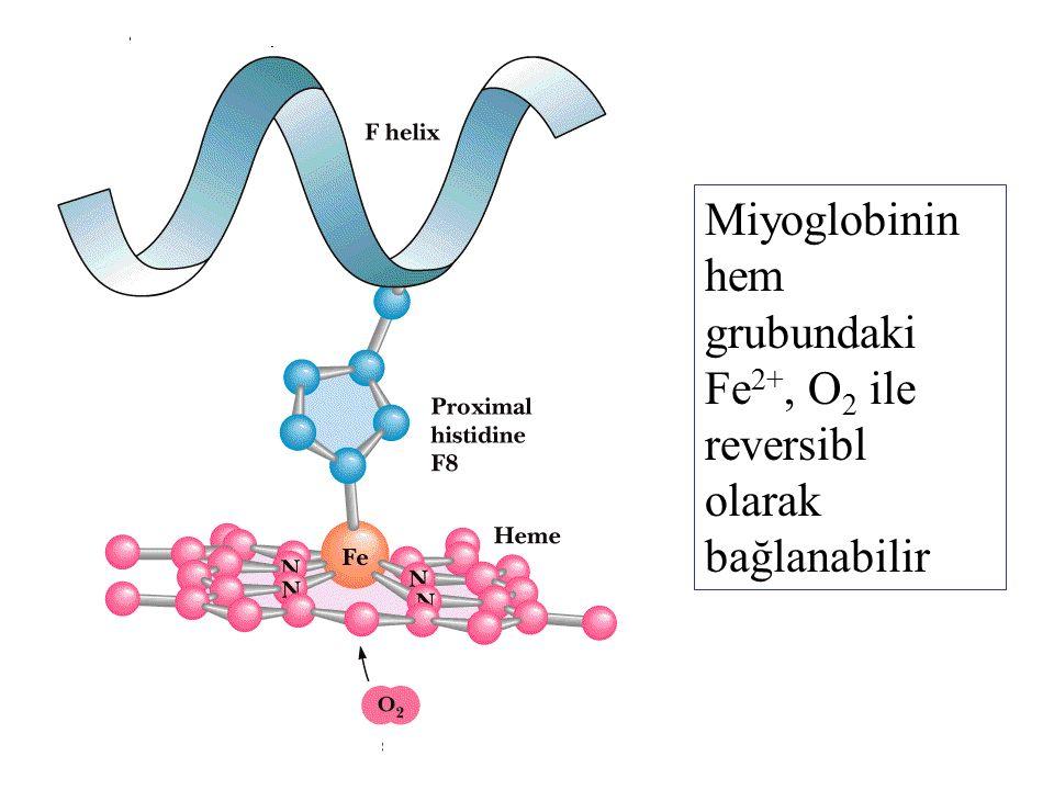 Miyoglobinin hem grubundaki Fe 2+, O 2 ile reversibl olarak bağlanabilir