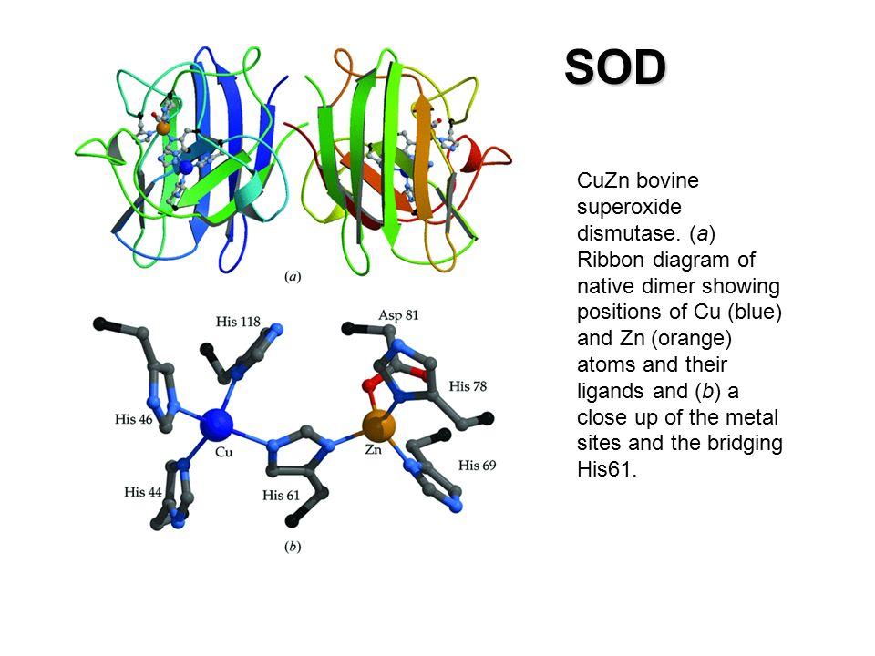 CuZn bovine superoxide dismutase.