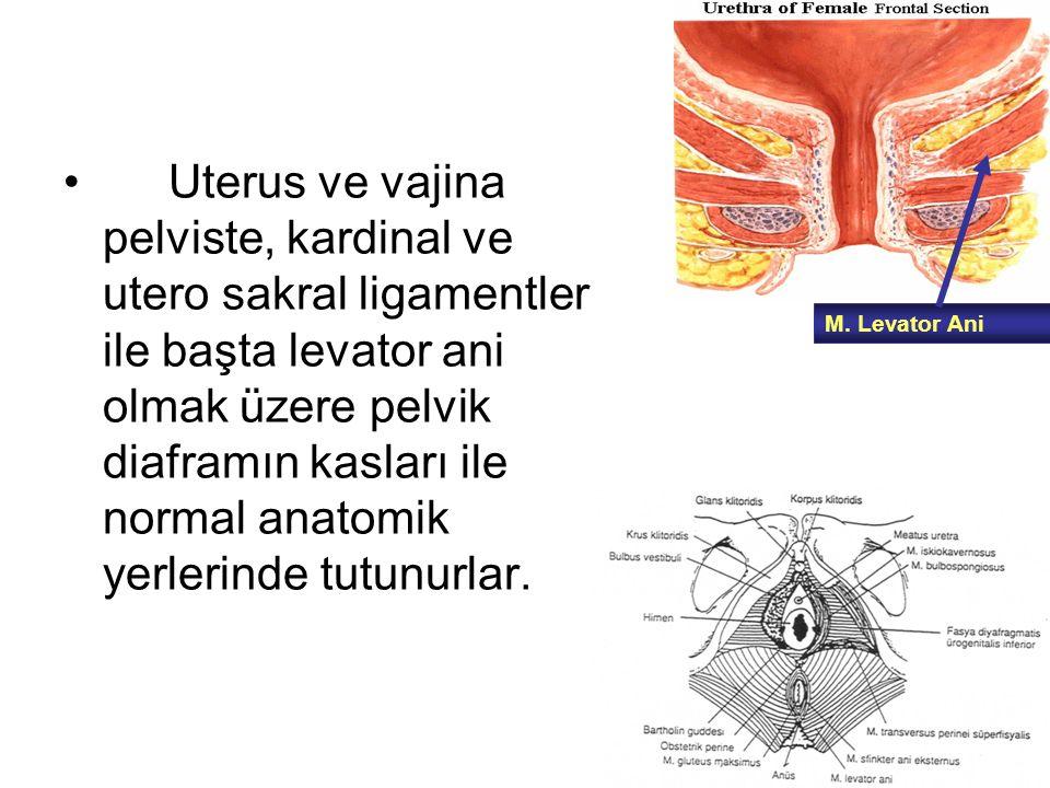 Uterus ve vajina pelviste, kardinal ve utero sakral ligamentler ile başta levator ani olmak üzere pelvik diaframın kasları ile normal anatomik yerleri