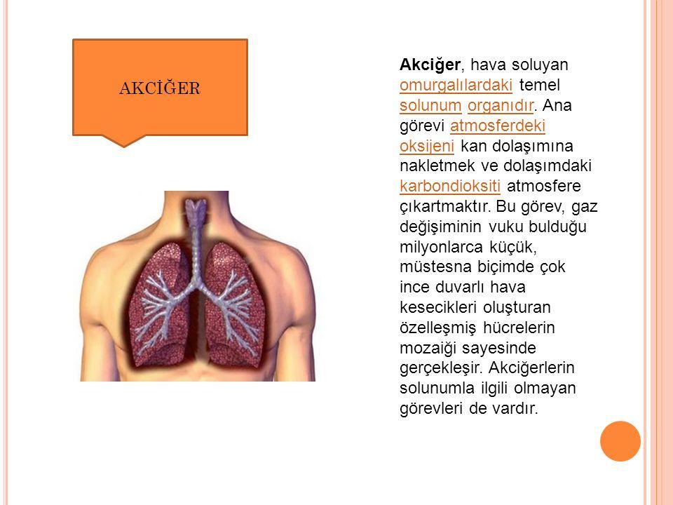 Akciğer, hava soluyan omurgalılardaki temel solunum organıdır.