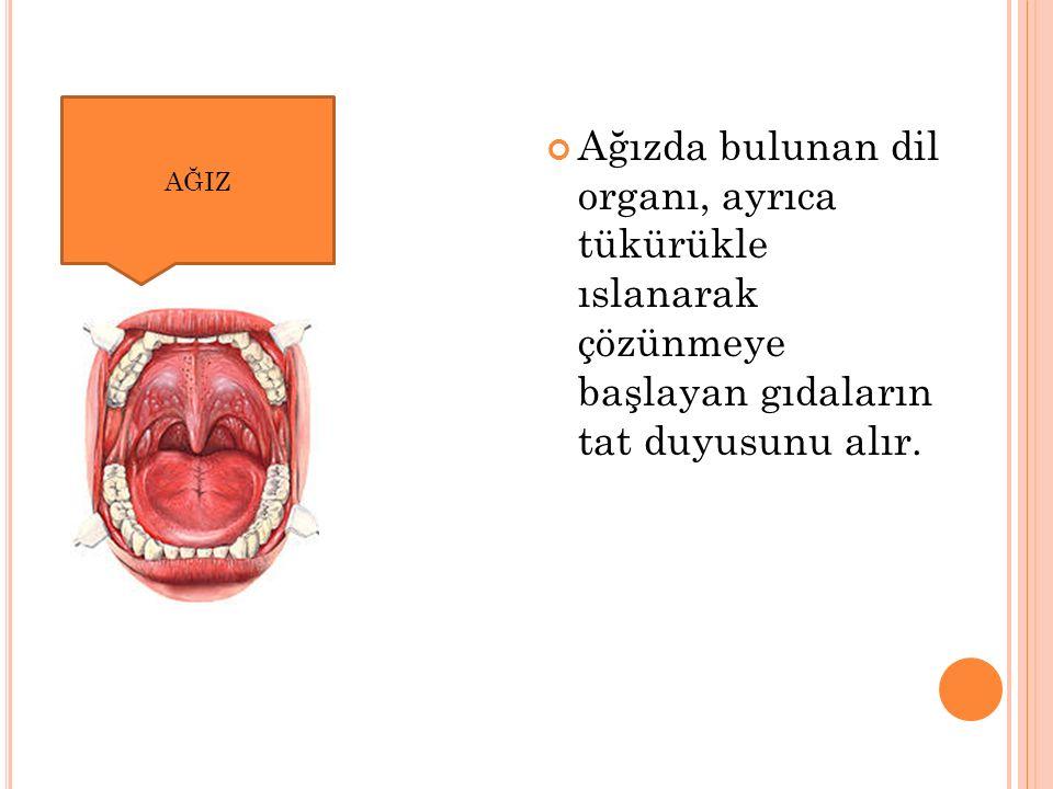 AĞIZ Ağızda bulunan dil organı, ayrıca tükürükle ıslanarak çözünmeye başlayan gıdaların tat duyusunu alır.