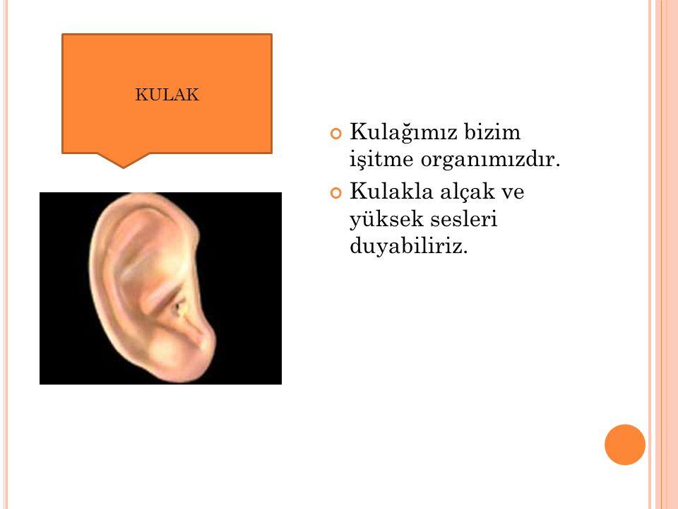 Kulağımız bizim işitme organımızdır. Kulakla alçak ve yüksek sesleri duyabiliriz. KULAK