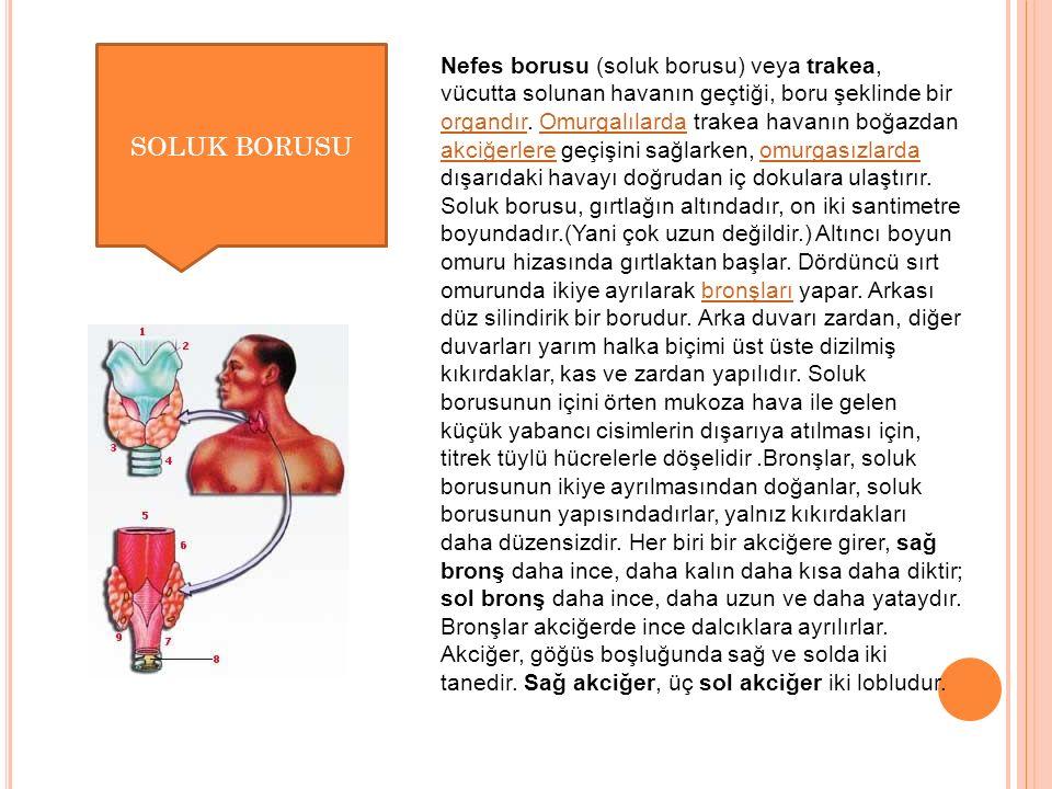 Nefes borusu (soluk borusu) veya trakea, vücutta solunan havanın geçtiği, boru şeklinde bir organdır.