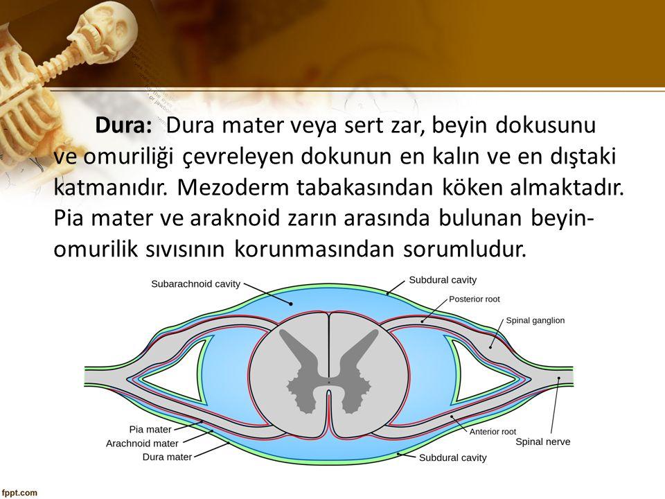 Dura: Dura mater veya sert zar, beyin dokusunu ve omuriliği çevreleyen dokunun en kalın ve en dıştaki katmanıdır.