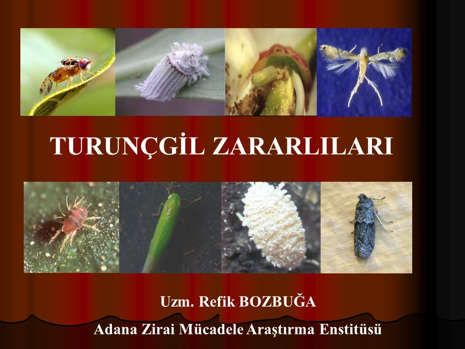 TURUNÇGİL ZARARLILARI Uzm. Refik BOZBUĞA Adana Zirai Mücadele Araştırma Enstitüsü