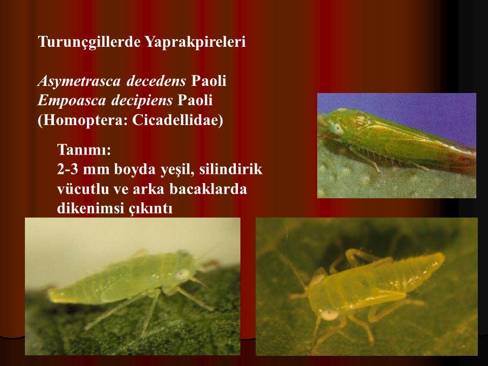 Turunçgillerde Yaprakpireleri Asymetrasca decedens Paoli Empoasca decipiens Paoli (Homoptera: Cicadellidae) Tanımı: 2-3 mm boyda yeşil, silindirik vücutlu ve arka bacaklarda dikenimsi çıkıntı